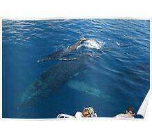 Humpback Whale Calf Tail Splashing Poster