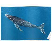Humpback Whale Calf Surfacing Poster