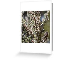 Tasmanian Thornbill in the tea tree blossom Greeting Card
