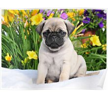 Cute Puppy Caesar the Pug by AiReal Apparel Poster