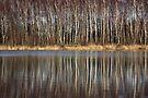 Silver Birch Reflections by Jo Nijenhuis