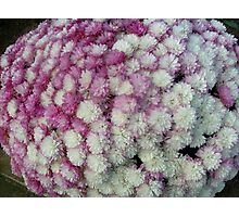 Chrysanthemums in two colors Photographic Print