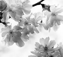 Flowering cherry tree - monochrome by intensivelight