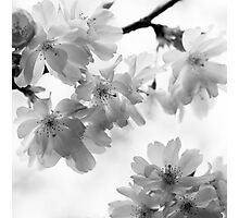 Flowering cherry tree - monochrome Photographic Print