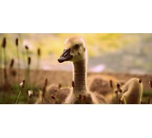 Canadian Gosling Photographic Print
