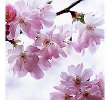Flowering cherry tree Photographic Print