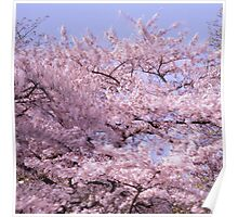 Flowering cherry tree moving in the wind Poster