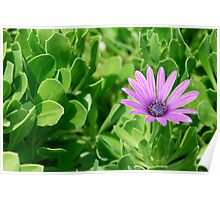 Ice Plant Poster