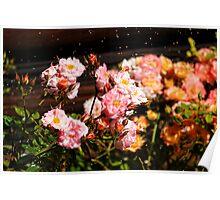Miniature Floribunda Rose Flowers Poster