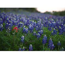 Texas Bluebonnets Plus Photographic Print