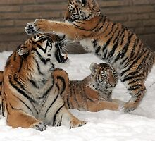 Tigers in snow  by franceslewis