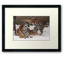 Tigers in snow  Framed Print