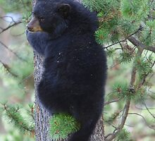Black Bear Cub by Jim Stiles