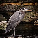 Great Blue Heron by Ian Phares