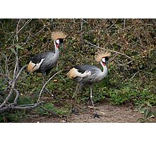 Crowned Cranes Photographic Print