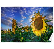 Sunflowers field Poster