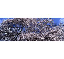 Flowering cherry tree under blue sky Photographic Print