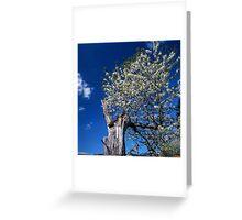 Flowering old apple tree Greeting Card