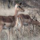 Impala, Kruger by herbpayne