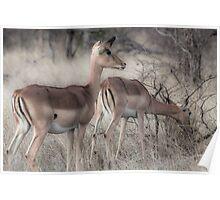 Impala, Kruger Poster