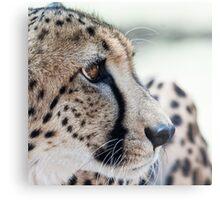 Cheetah, South Africa Metal Print