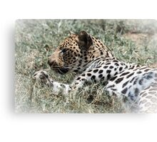 Leopard resting, South Africa Canvas Print