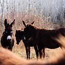Donkeys - Banyoles (Catalonia) by garigots