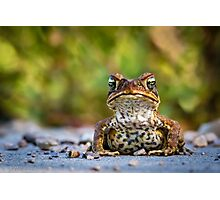 Toad in the road Photographic Print