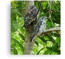 Tawny Frogmouths Canvas Print