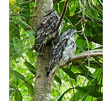 Tawny Frogmouths Photographic Print