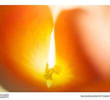 Begonia flower abstract by DavidKennard