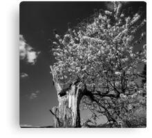 Flowering old apple tree - monochrome Canvas Print