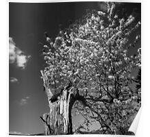 Flowering old apple tree - monochrome Poster