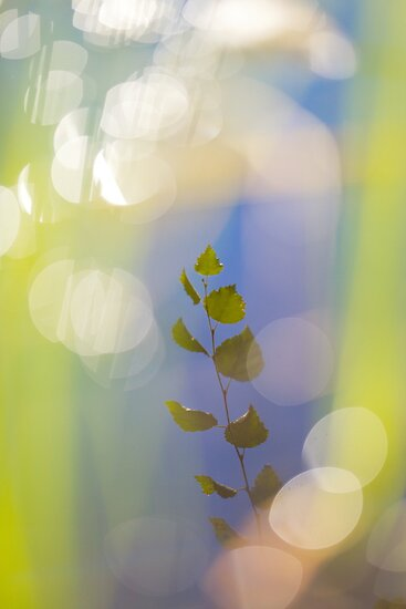 Birch leaves reflected in a lake by intensivelight