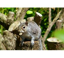 Grey Squirrel Photographic Print