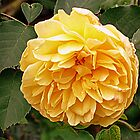 The Yellow Rose of ? by Woodie