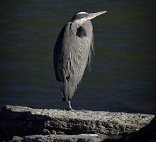 This Heron is in the Spotlight by LarryB007