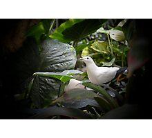 White Dove Photographic Print