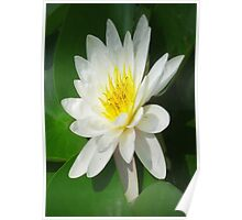 Water Lilly   Poster