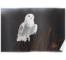 Post BG / Snowy Owl Poster