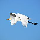 Great Egret by venny