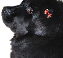Newfoundland Dog by Laurie Minor