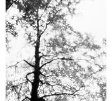 Beech tree with glowing leaves - monochrome Photographic Print
