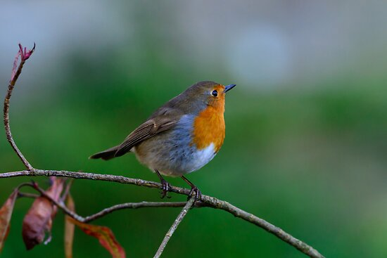 Robin, County Kilkenny, Ireland by Andrew Jones