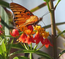 Gulf Fritillary Butterfly Feeding on a Bloodflower by Ingasi