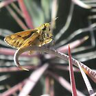 Skipper Butterfly on Fishhook Barrel Cactus Spine by Ingasi