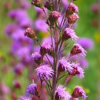 Feathery Blazing Star by lorilee