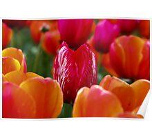 Floral festival Tulip  field  Poster