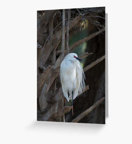 Egret in breeding plumage Greeting Card