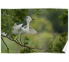Snowy Egret in breeding plumage Poster